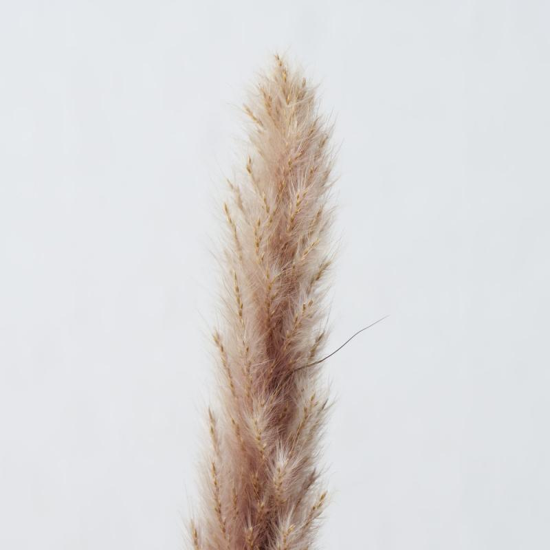 Pampasgras 85 cm